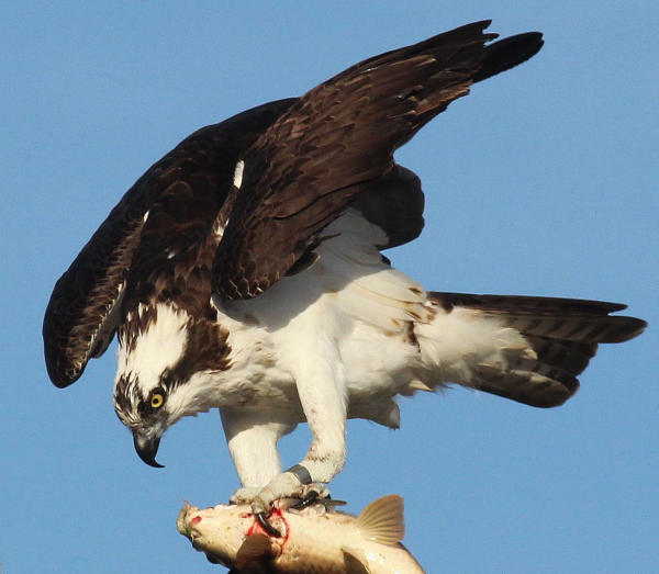 Utah: Attend the Flaming Gorge Osprey Watch at Flaming Gorge ...