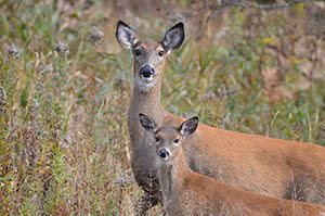 The aging process: How and why deer are aged at DNR check stations